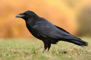 dissuasori per corvi