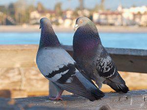 dissuasori per piccioni