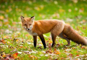 dissuasori per volpi